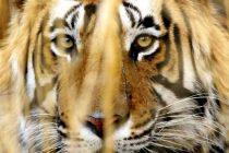 Populacija tigrova u Indiji povećala se za više od 30 posto