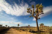 Naučnici upozoravaju: Džošua drveće bi moglo da nestane do 2070. godine