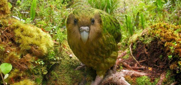 Novi Zeland: Pticama bi trebalo 50 miliona godina da se oporave od ljudskog uticaja