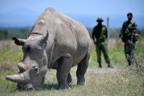 Spas za ugroženu vrstu: Veterinari uspeli da izvade jajašca iz ženki severnog belog nosoroga