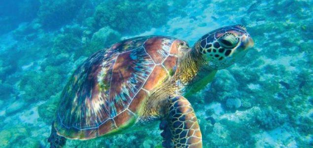 Zelena morska kornjača guta plastične vrećice jer je podsjećaju na morsku travu
