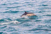 Delfini u Lamanšu ugroženi zbog zagađenosti