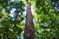 Dobre vesti: Požar zaobišao najviše stablo u Amazoniji