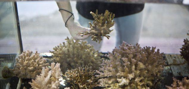 Veliki uspeh naučnika: Uspešno podstaknuto razmožavanje ugrožene vrste korala