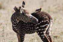 Upoznajte Tiru – prvu tačkastu zebru rezervata u Keniji