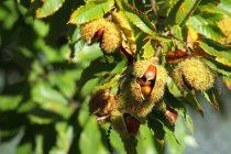 Ugroženo više od 50 posto endemskih evropskih vrsta drveća