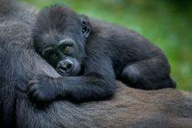 Gorile stvaraju veze slično ljudima, imaju proširenu porodicu i prijatelje