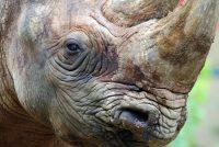 Najstariji nemački nosorog proslavio 50. rođendan: Uprkos godinama, Natala odlično izgleda