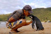 Dirljiva priča o odanosti i prijateljstvu: Pingvin svake godine prepliva 8.000 kilometara da bi posetio spasioca