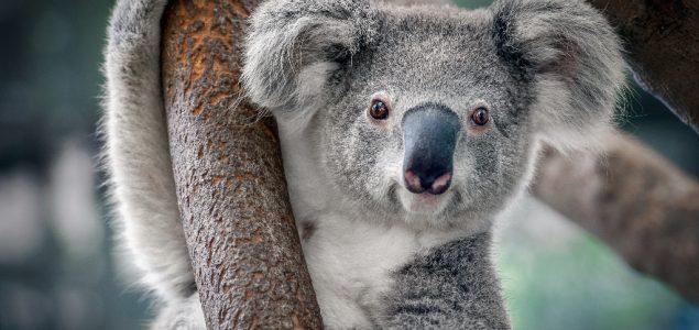 Ne, koale nisu funkcionalno istrebljenje – barem ne još!
