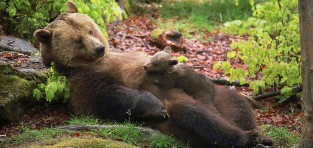 Predlog koji je podelio građane i političare: Rumunski senatori žele ozakonjenje lova na mrke medvede