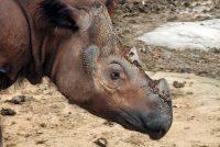 Vrsta dovedena na ivicu istrebljenja: Uginuo poslednji sumatranski nosorog u Maleziji