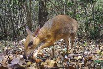 Nije ni jelen, ni miš: Retka vrsta sisara viđena nakon 30 godina