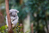 Koale ugrožene zbog nestanka staništa: U Australiji izgorelo 2.000 hektara šuma