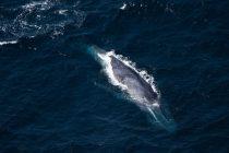 Prvi put izmereni otkucaji srca plavog kita dok zaranja u potrazi za hranom
