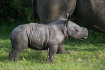 """Belgijski zoo vrt """"bogatiji"""" za još jednog člana: Rođeno mladunče belog nosoroga"""