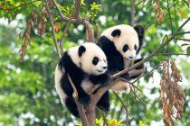 Prve pande rođene u nemačkom zoo vrtu konačno dobile imena