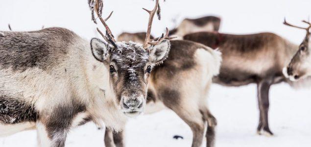 Globalno zagrevanje preti Rudolfu i družini: Propadaju čitave sezone ispaše irvasa