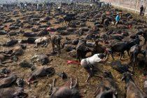 UZNEMIRUJUĆE Dronom snimili tisuće životinja žrtvovanih na festivalu Gadhimai