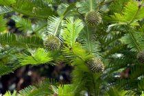 Tajnom vatrogasnom akcijom spasena praistorijska vrsta australijskog drveća