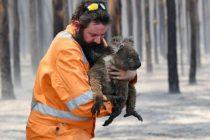 Nakon katastrofalnih požara, koalama u Australiji prijete i poplave