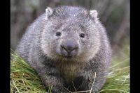 Mali tobolčari velikog srca: Vombati pružili utočište drugim životinjama tokom požara