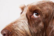 Odakle potiče današnji pas?