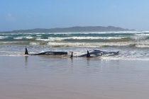 Uginulo najmanje 90 kitova koji su se nasukali na obalu Tasmanije