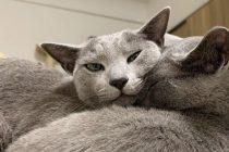 Ovo su najdruštvenije pasmine mačaka