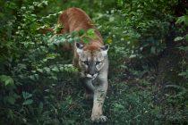 Borba za opstanak: Naučnici otkrili kakvu taktiku za preživljavanje koriste planinski lavovi