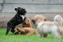 Psi se češće međusobno igraju kad su u društvu vlasnika, žele im ugoditi