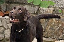 Zašto neki psi zavijaju kad njihovi vlasnici pjevaju