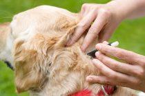 Četiri najbolja načina da zaštitite svog psa od ugriza krpelja