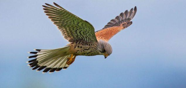 Jastrebovi deficita mašu krilima