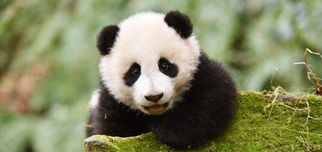Velike pande više nisu ugrožena vrsta