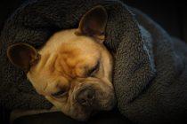 Giardia kod pasa: Parazit koji izaziva proljev, slabost i mršavljenje ljubimca