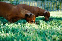 Zašto psi nekad jedu travu – nova studija pokazuje da nije zbog toga što im je loše