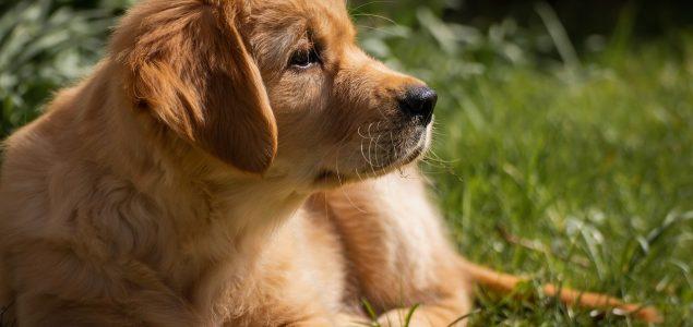 10 pasmina pasa kojima nikad nije dosta maženja